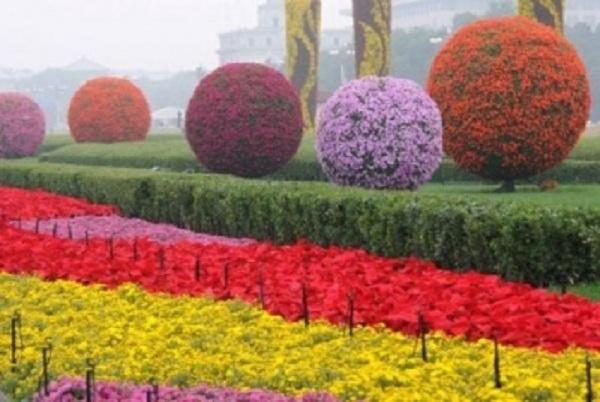 Svet je poludeo za hrizantemama: od Kine do Kijeva festivali cveća obaraju rekorde
