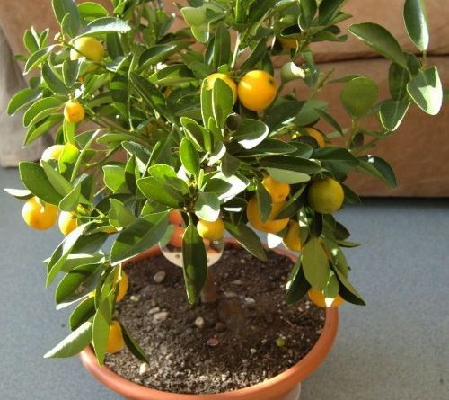 Kako odgajiti limunovo drvo u šolji.VIDEO