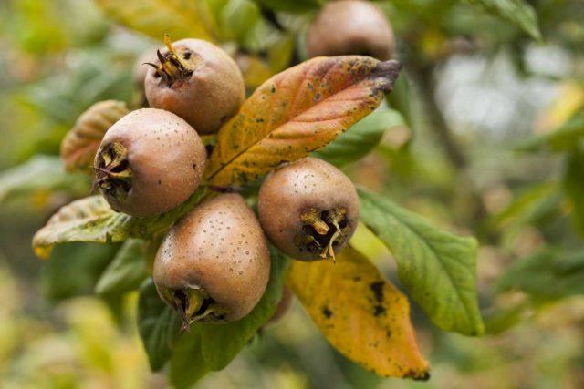 Čudotvorna voćka: Šta sve leče mušmule