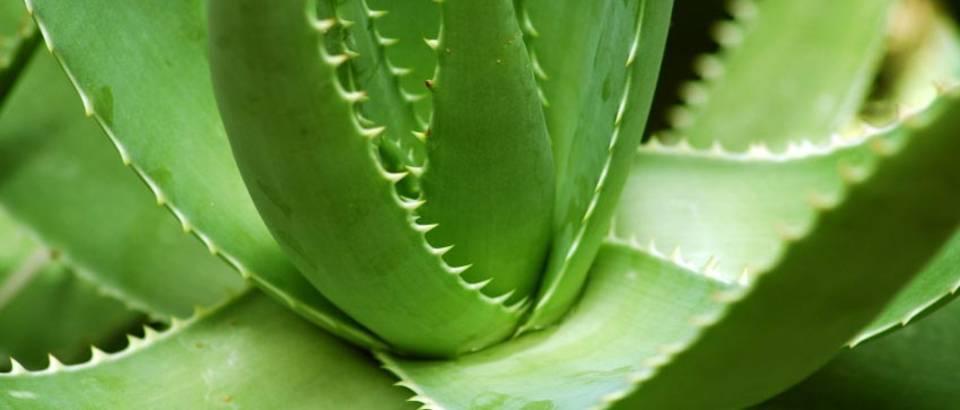 Aloe vera – kraljica ljekovitih biljaka