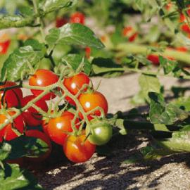 Jedna kap joda će spasti vašu baštu: Od trulenja, gljivičnih infekcija i pepelnice! Evo kako!